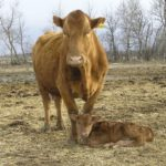 The benefits of vaccinating calves for BRD