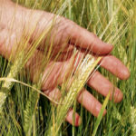 Research funding provides new barley varieties
