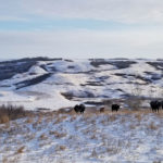 The Big Squeeze: Alberta cattle sector struggling to get ahead