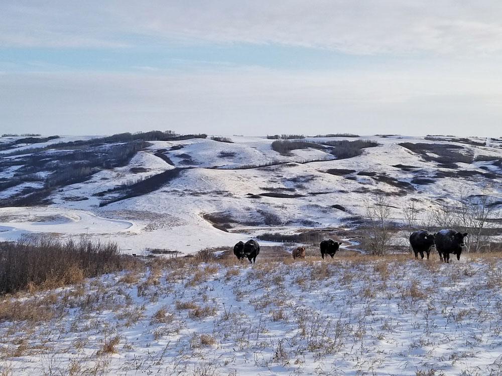 More than 80 per cent of the land base at Round Rock Ranching is native range and cattle are selected for their ability to do well on that type of land.
