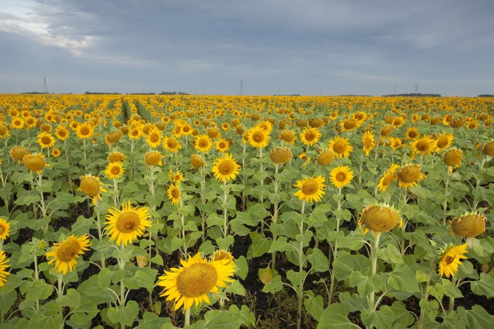 File photo of a sunflower crop in Manitoba. (MysticEnergy/Getty Images)