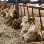 Calves that are transported properly will quickly get onto feed and water even when they've been hauled from Alberta to his feedlot in Ontario, says cattle buyer Ken Schaus.