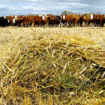 Annual forages offer benefits, says forage specialist