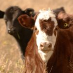 Tips for branding and safe processing of cattle