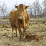 Cow-calf producers needed for cost-of-production initiative