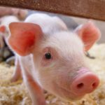 Pork genomics project gets $1 million