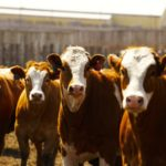 Livestock feeders urged to call before making changes