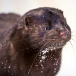 File photo of a farmed mink. (Konstantin Sokolov/iStock/Getty Images)