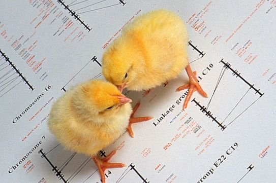 Chicks atop images from a genetic map of a chicken. (Peggy Greb photo courtesy ARS/USDA)