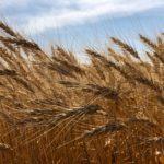 'Genomic atlas' a boon for wheat breeders