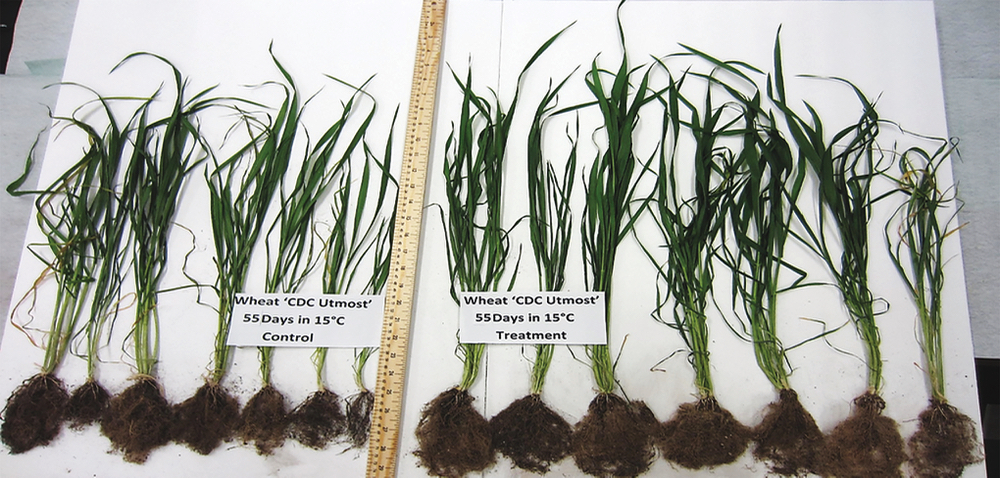 Lab trials of a manure-derived seed treatment have usually shown increased root growth (as seen on the right) as well as better resistance to environmental stressors.