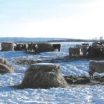 Bale grazing is having its moment in the (winter) sun