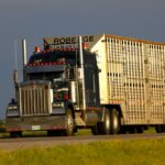New guide for transporting cull cows