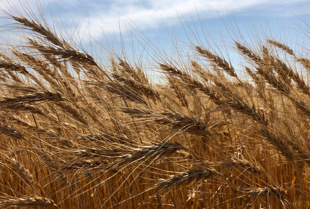The search is on for the missing wheat yield