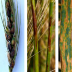 The lowdown on bacterial leaf streak