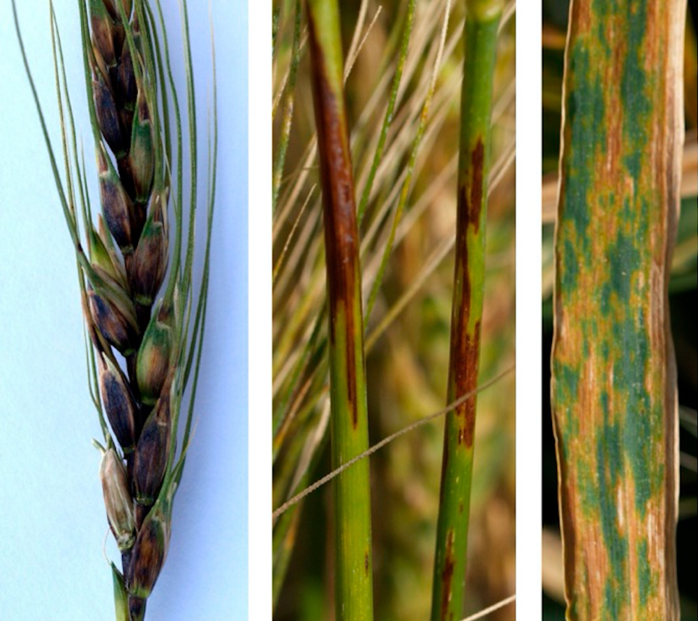 Symptoms of black chaff on wheat include discolouration of mature wheat head, dark brown or purple markings on wheat stems, and leaf streaking.