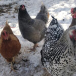 Winter's here but pandemic poultry are still a hit across Alberta