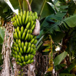 Schoepp: The plight of the banana has implications for all of agriculture