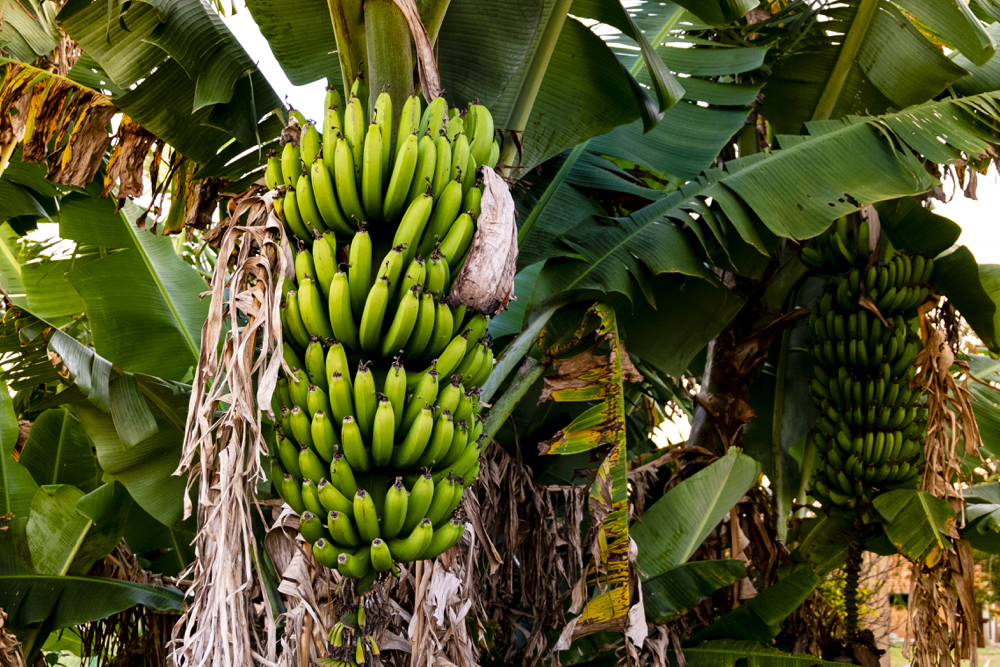 It is fair to say that the commercial banana trade is a monoculture that is highly vulnerable to disease.