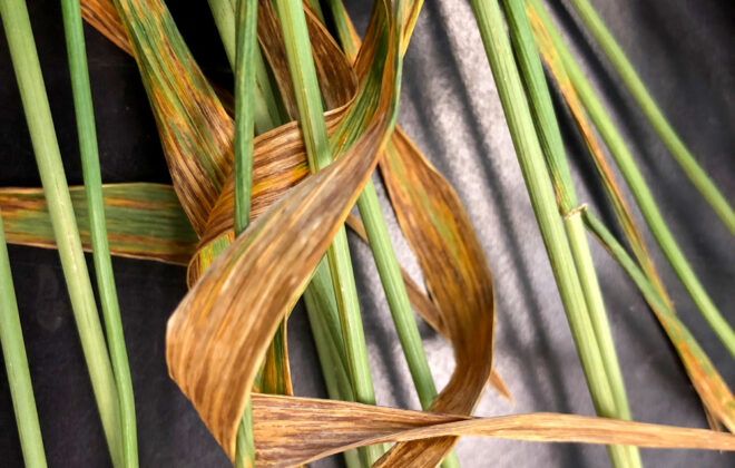 Bacterial leaf streak is often confused for stripe rust, but without the orange spores.