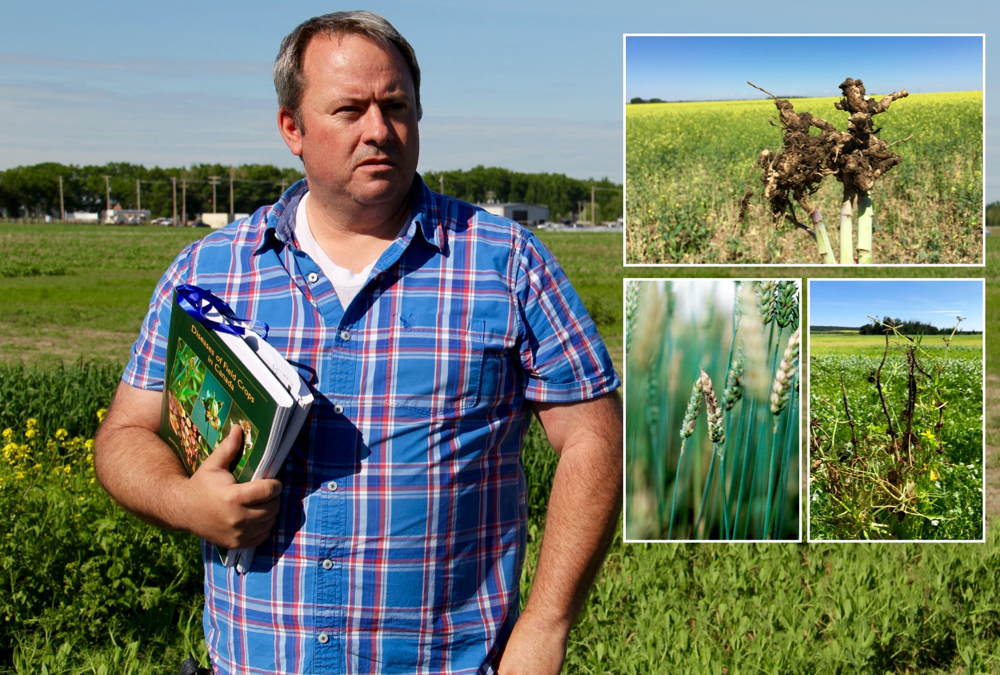 Last year's conditions mean this year's weather will be the driver when it comes to crop diseases, says provincial research scientist Michael Harding. But keep close watch for clubroot and root rots (which continued to spread last year) and watch for fusarium head blight, which has laid low recently but could easily rebound in 2021.