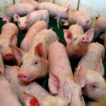 Some beleaguered hog farmers want production cuts