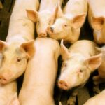 Swine fever containment plan agreed to