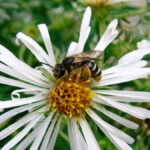 A Halictus bee on an aster. This is an example of the native bees that live in Alberta and thrive on diverse plant species.