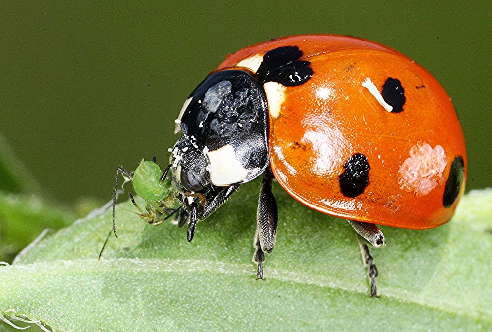 We know beneficial insects eat crop pests — ladybugs, for example, love aphids — but now Alberta researchers armed with advanced DNA tools are taking a deep dive into their eating habits. The goal is to identify top pest predators and find ways to enhance their numbers in fields.