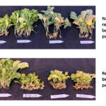 (Genetic) resistance is futile for new clubroot pathotypes