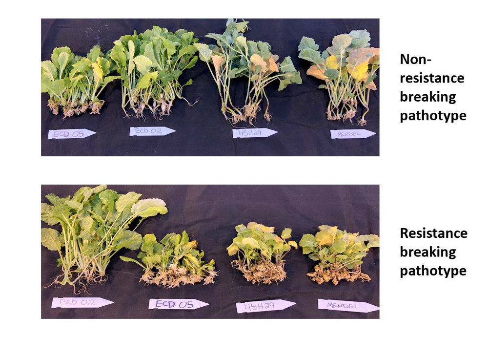 Of the 36 unique clubroot pathotypes that have been found on the Prairies, 19 of them are able to overcome first-generation resistance, limiting plant growth and potential yield.